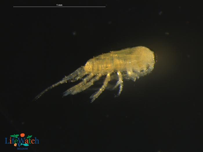 Pseudodiaptomus marinus Sato, 1913
