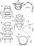 Desmoxytesauratasp. n. (male paratype)