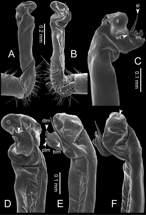 Desmoxytesauratasp. n. (paratype) – right gonopod.