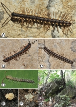 Photographs of liveDesmoxyteseurossp. n. and habitat.