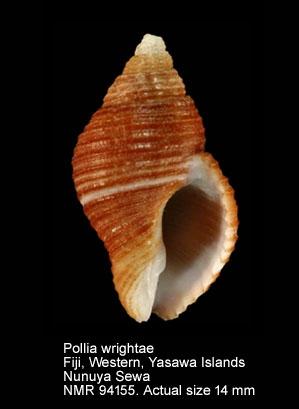 Pollia wrightae