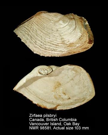 Zirfaea pilsbryi