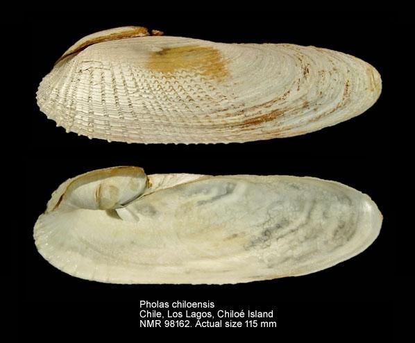 Pholas chiloensis