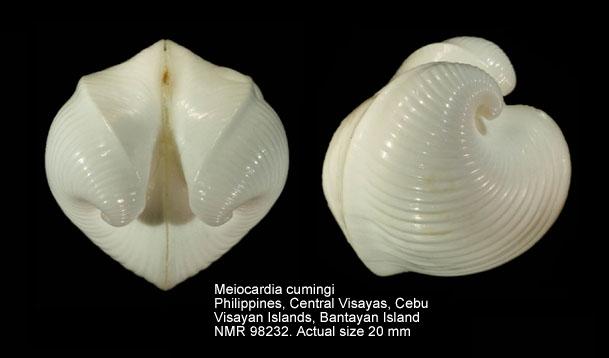 Meiocardia cumingi