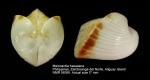 Meiocardia hawaiana