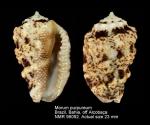 Morum purpureum