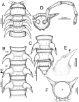 Desmoxytesflabellasp. n. (male paratype).