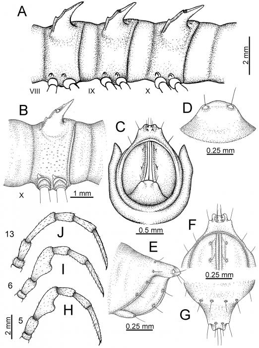 Desmoxytesflabellasp. n. (male paratype)