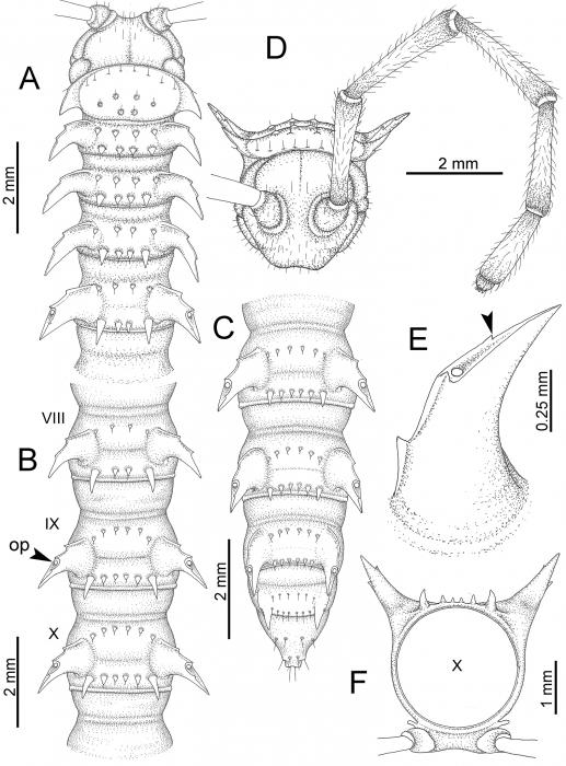 Desmoxytesgolovatchi (male paratype).