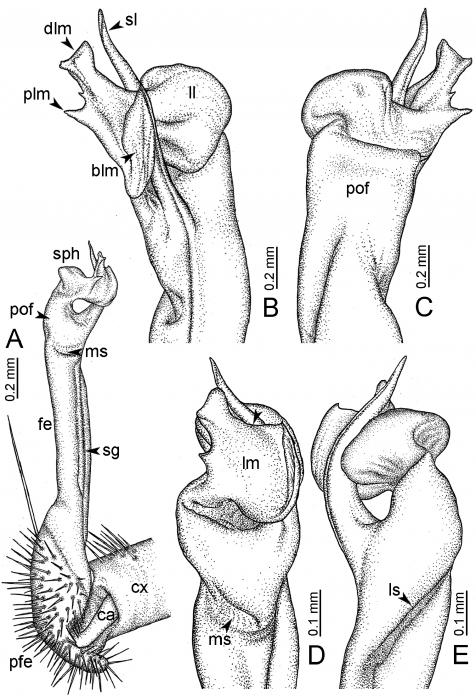 Desmoxytesgolovatchisp. n. (paratype) – right gonopod.