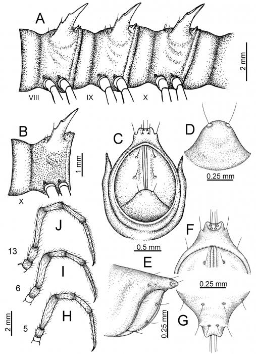 Desmoxytesoctoconigera(male paratype).