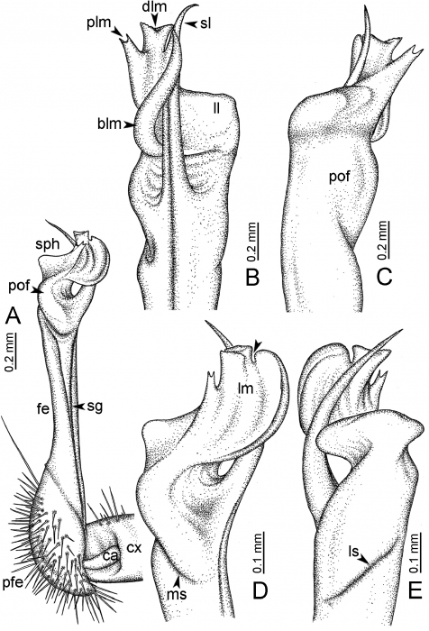 Desmoxytesoctoconigera(paratype) – right gonopod.