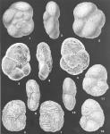Paratrochammina globorotaliformis (Zheng) identified specimens