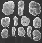 Paratrochammina simplissima (Cushman & McCulloch) identified specimens