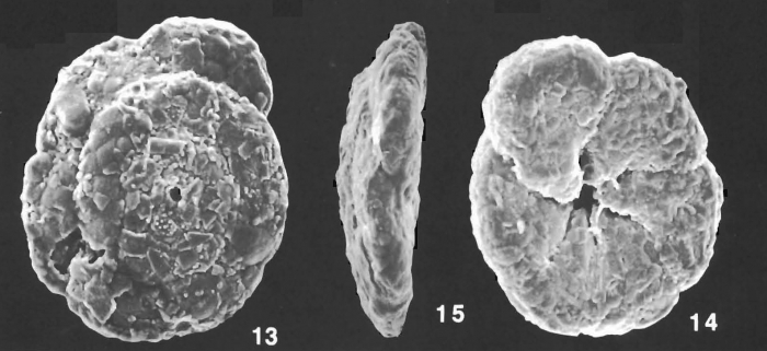Trochammina squamiformis Cushman & McCulloch identified specimen