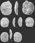 Tritaxis fusca (Williamson) identified specimens