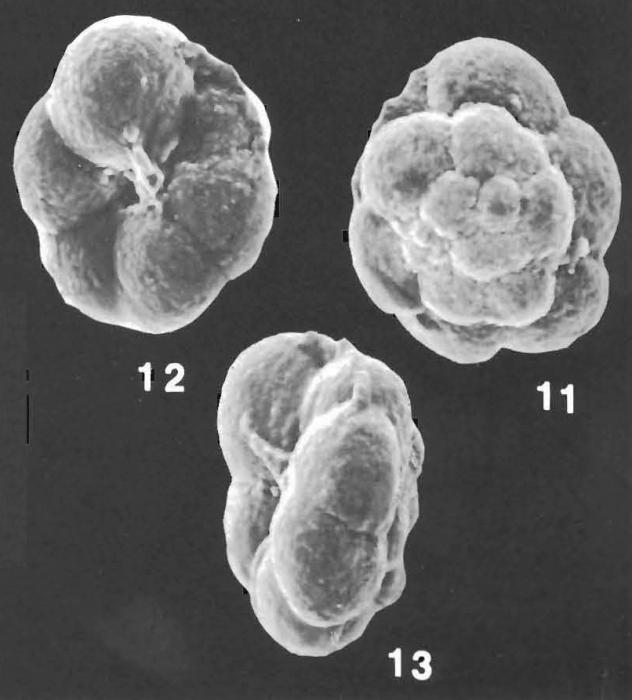 Trochammina subglabra Saidova identified specimen