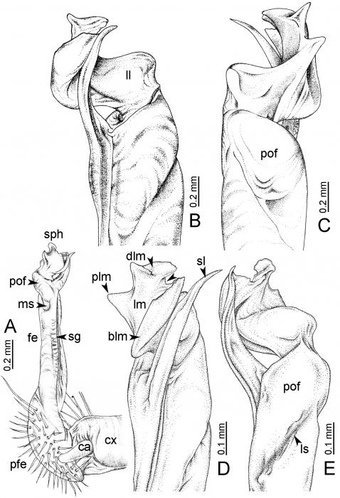 DesmoxytespinnasqualiSrisonchai et al., 2016 (paratype)