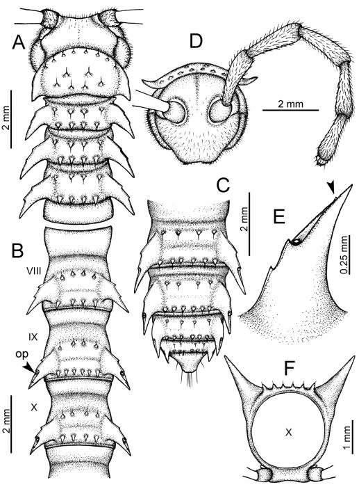 Desmoxytestaurina(Pocock, 1895), lectotype.