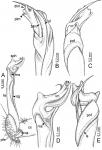 Desmoxytesterae(Jeekel, 1964), holotype – right gonopod.