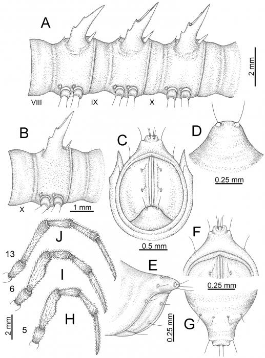 Desmoxyteswaepyanensissp. n. (male paratype).