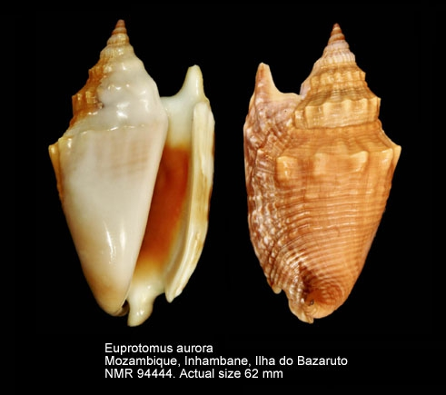 Euprotomus aurora