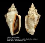 Canarium klineorum