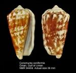 Conomurex coniformis
