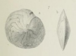 Amphistegina minuta Brady, 1876