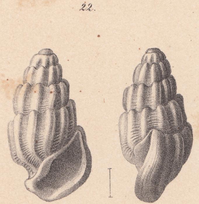 Rissoina basteroti Schwartz von Mohrenstern, 1860