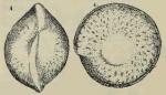 Amphistegina maculata Egger, 1893