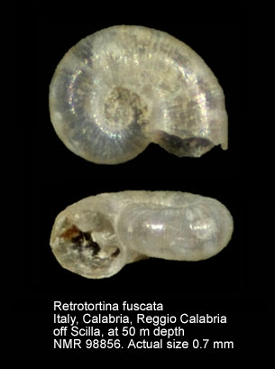 Retrotortina fuscata