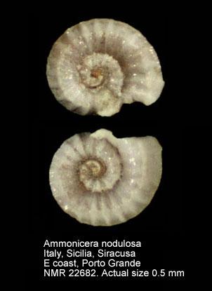 Ammonicera nodulosa