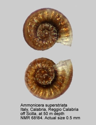 Ammonicera superstriata