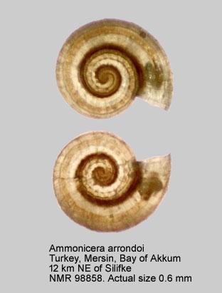 Ammonicera arrondoi