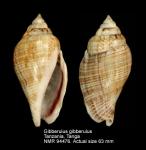 Gibberulus gibberulus