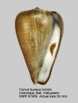 Conus buxeus loroisii