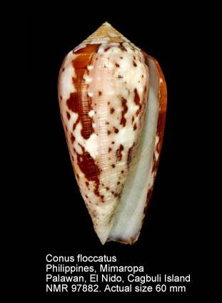 Conus floccatus