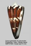 Conus generalis var. subunicolor
