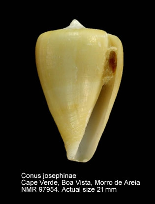 Conus josephinae