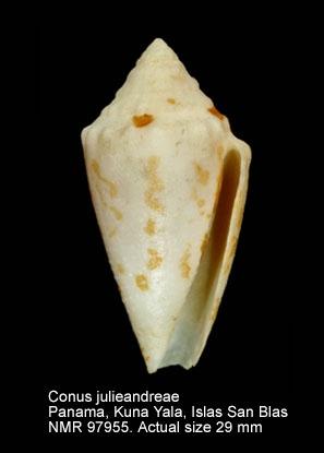 Conus julieandreae