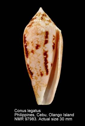 Conus legatus
