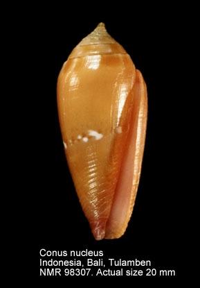 Conus nucleus