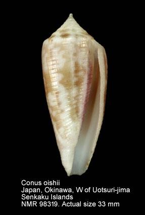 Conus oishii