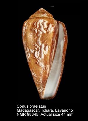 Conus praelatus