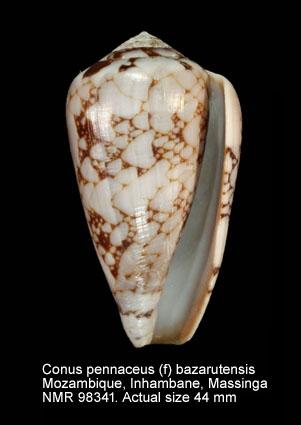 Conus pennaceus bazarutensis