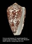 Conus pennaceus