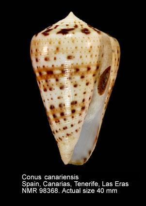 Conus pulcher siamensis