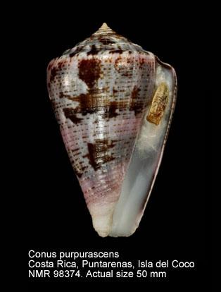 Conus purpurascens