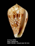 Conus retifer